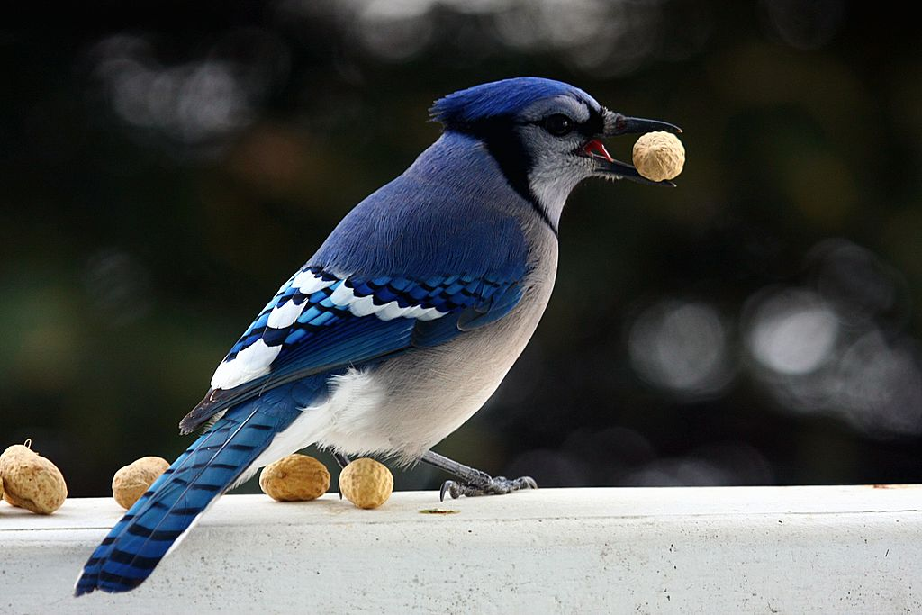 FileBlue Jay with peanut December 2010jpg  Wikimedia