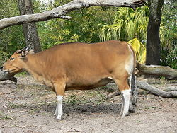 Banteng di Disney's Animal Kingdom