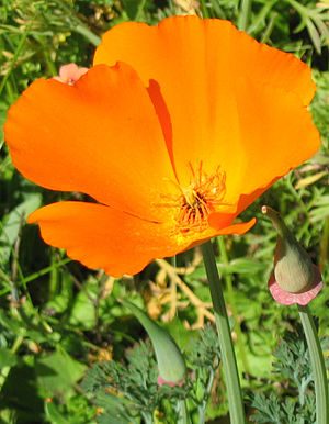 Image of a California Poppy flower. Photo take...