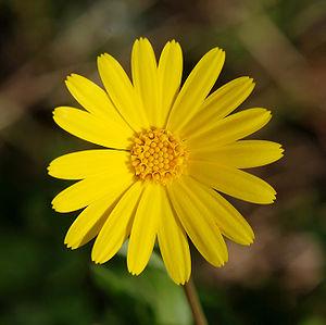 English: A yellow flower of Calendula arvensis...