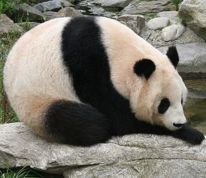 Giant panda at Vienna Zoo