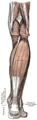 Deep and superficial layers of posterior leg m...