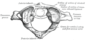 First cervical vertebra, or Atlas