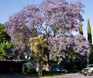 Jacaranda tree in bloom, Mountain View, Califo...