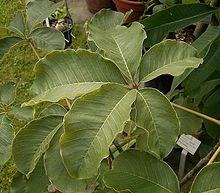 Pseudobombax ellipticum  Wikipedia la enciclopedia libre