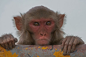 Rhesus Macaque Macaca mulatta in Kinnerasani W...