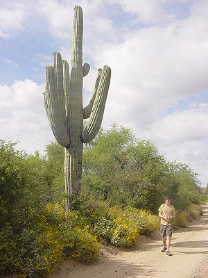 Saguaro Cactus located in AZ. The man in the p...