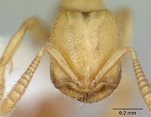 Head view of ant Adetomyrma venatrix specimen ...