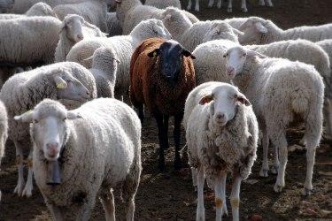 Image result for sheeps