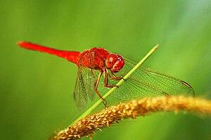Capung merah, salah satu serangga yang hidup d...