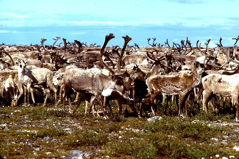 File:Caribou Thelon River 1978.jpg