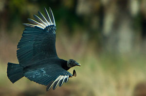 A Black Vulture (also known as the American Bl...