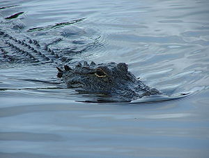 Gator34