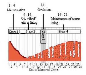 menstrual cycle diagram with ovulation land cruiser 200 wiring gcse science hormones wikibooks open books for an world learning the edit