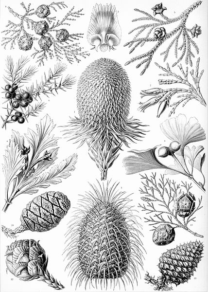 Haeckel's Conifer