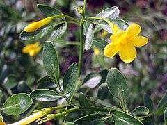 Jasminum fruticans FlowersCloseup 2009May10 SierraMadrona.jpg
