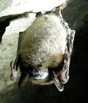 Little brown bat with white-nose syndrome in G...