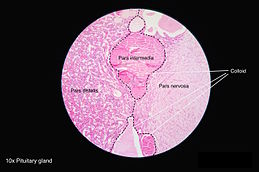 vascular anatomy diagram lower wiring for car amplifier pituitary gland - wikipedia
