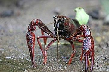 Procambarus clarkii.jpg