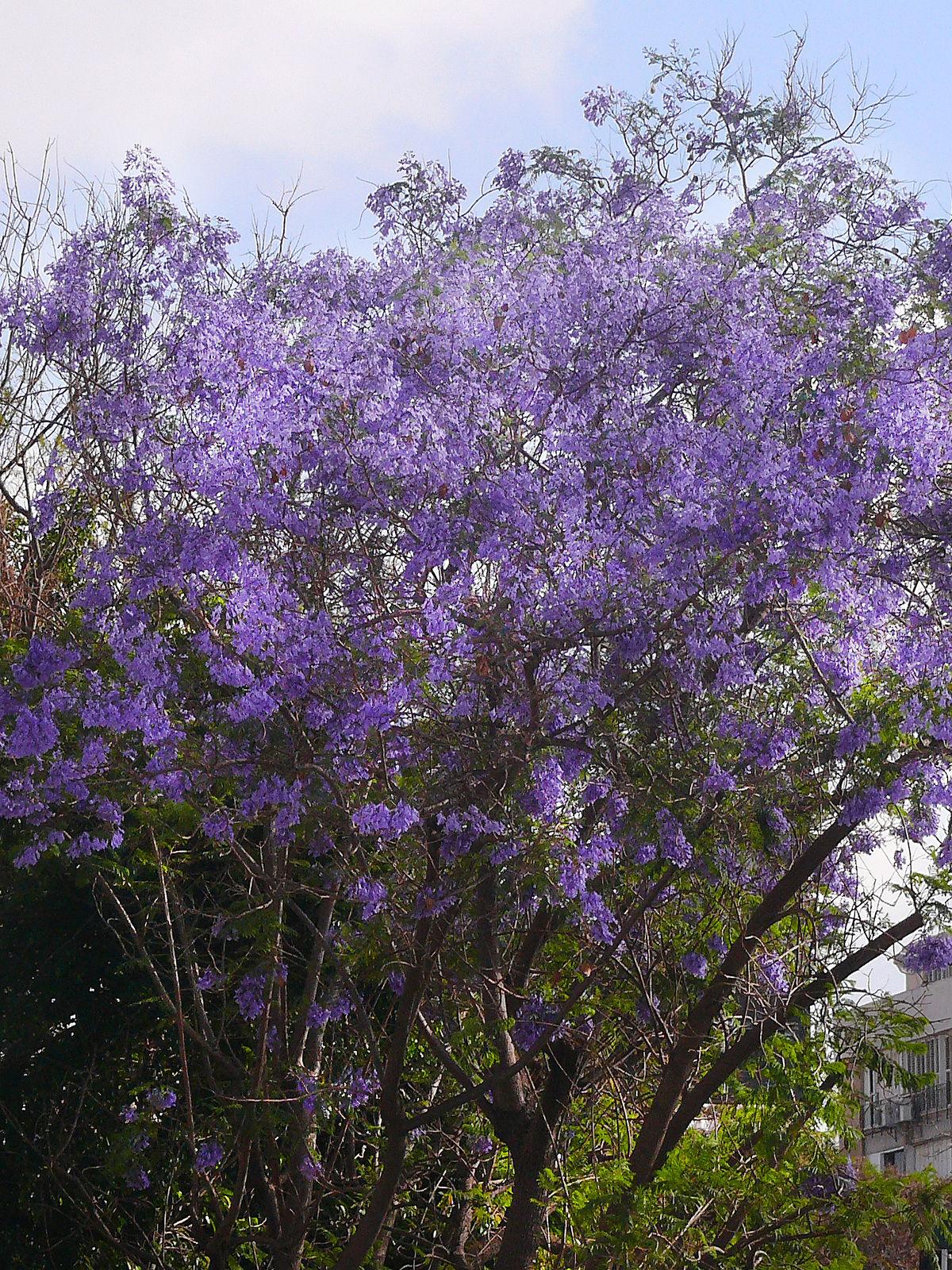 Palisanderholzbaum  Wikipedia