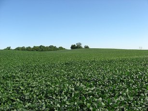 Soybean fields at Applethorpe Farm