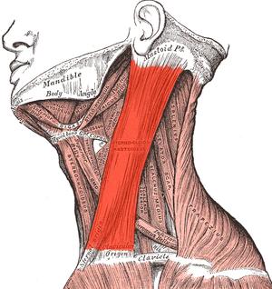 sternocleidomastoideus muscle