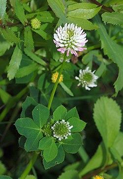 Un ejemplo de Trébol en floración.