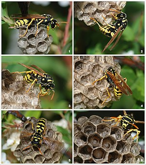 A young paper wasp queen (polistes dominula) i...
