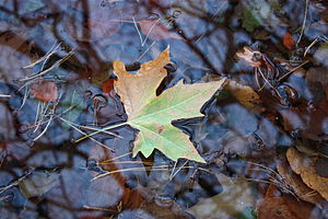 English: A fallen leaf floating in a stream at...