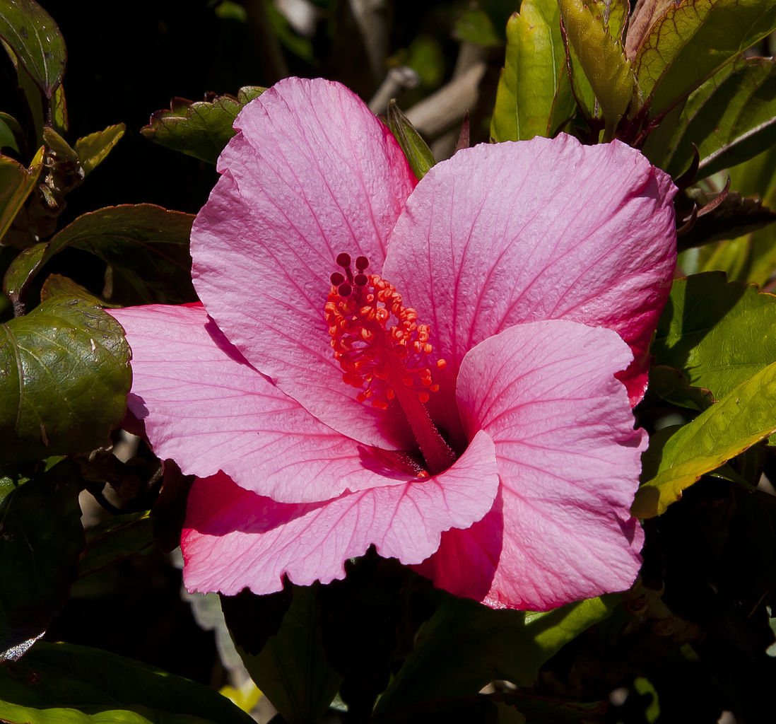 Beautiful Hibiscus De Jardin Bouture Images - House Design ...