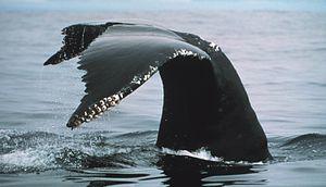 Humpback tail Fallarones