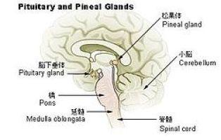 Illu pituitary pineal glands ja.JPG