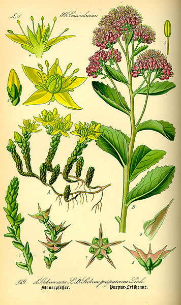 sedum plante mellifere