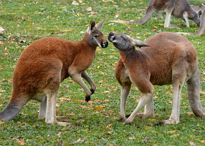 File:Kangaroos at the zoo.jpg