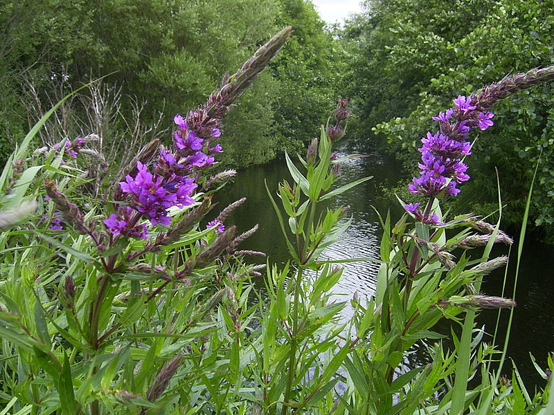 lythrum salicaria -
