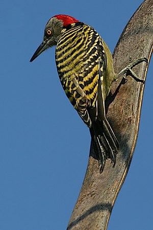 Hispaniolan Woodpecker / Melanerpes striatus