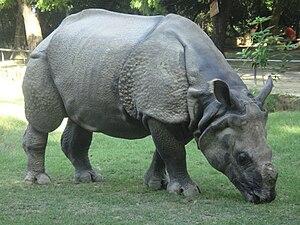 English: kanpur zoo photos-rhinoceros-1