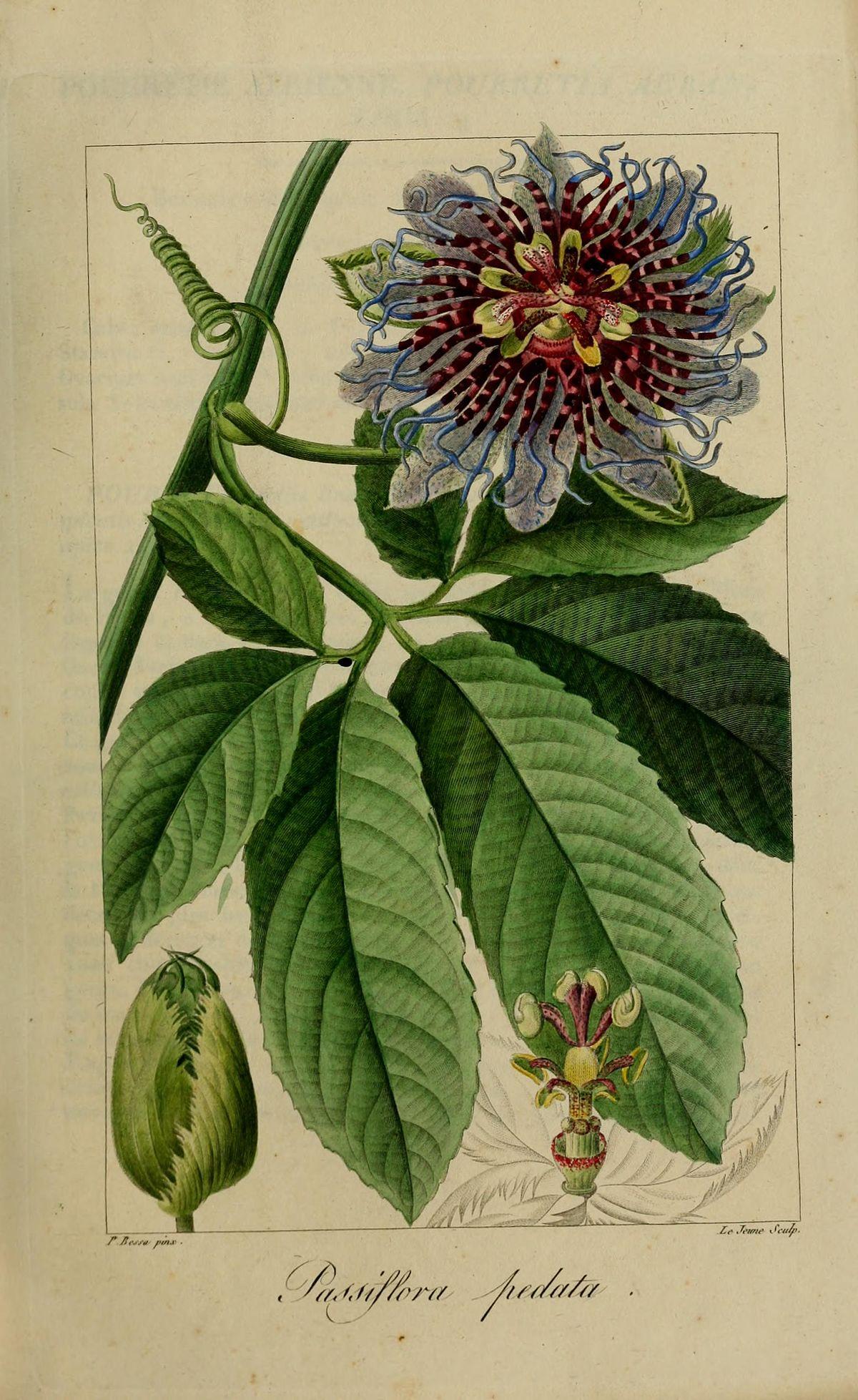 Passiflora Pedata Wikispecies