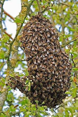 Swarm of Bees in hedgerow