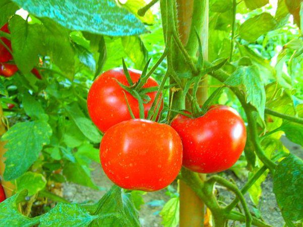 File:Tomaten tomatoes pomodori.jpg