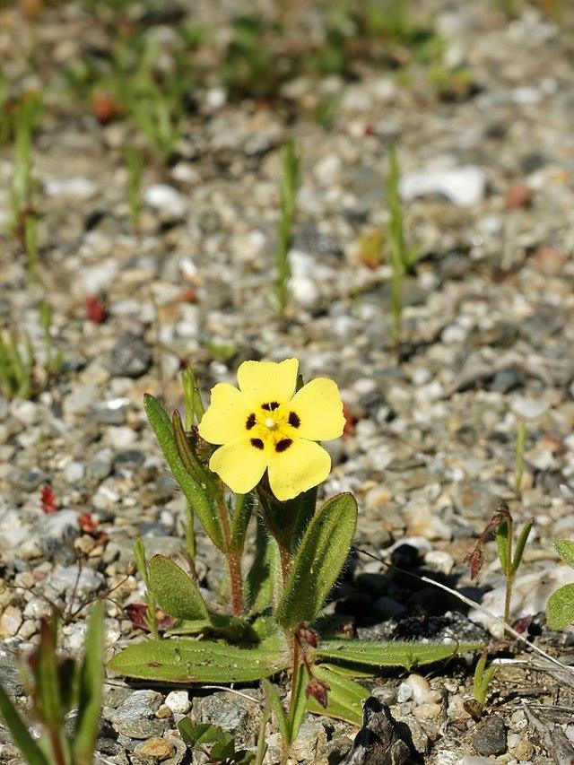Tuberaria guttata (L.) Fourr. 영어로는 Rockrose라고 하고 독일에서는 Zistrose라고 한다. photo: Hans Hillwaert. License: Creative Commons Attribution-Share Alike 3.0 Unported.