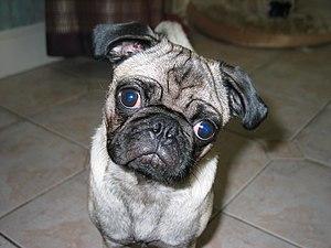 Wilbur the pug