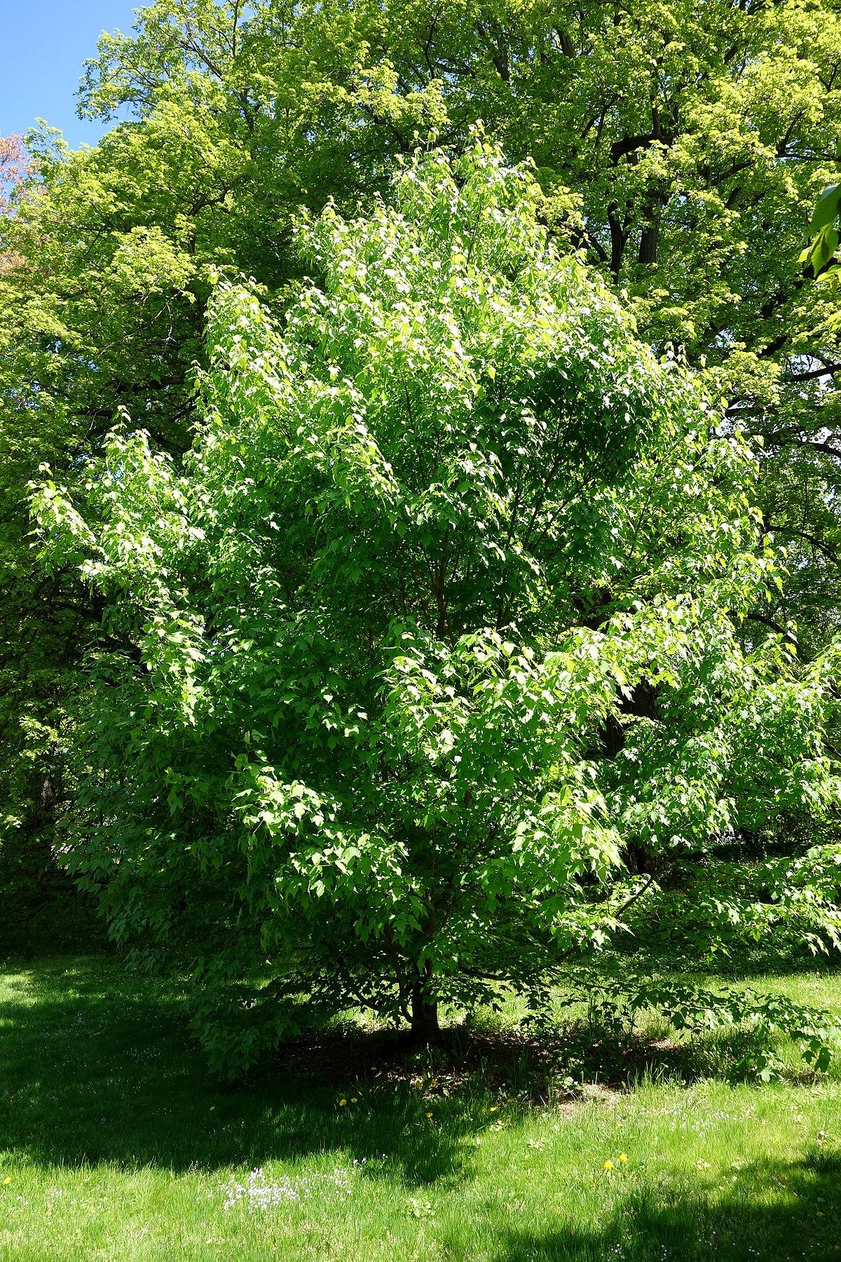 Acer sterculiaceum  Wikipedia
