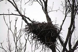 Female bald eagle on an egg, Missouri.
