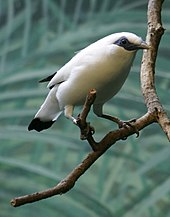 Bali mynais found only on Bali and is critically endangered