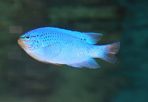 English: The blue damselfish, sapphire devil, ...