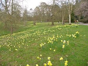 English: Daffodils Below Breakheart Hill Grass...