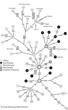 morphology tree diagram ready remote 24923 wiring multiregional origin of modern humans - wikipedia