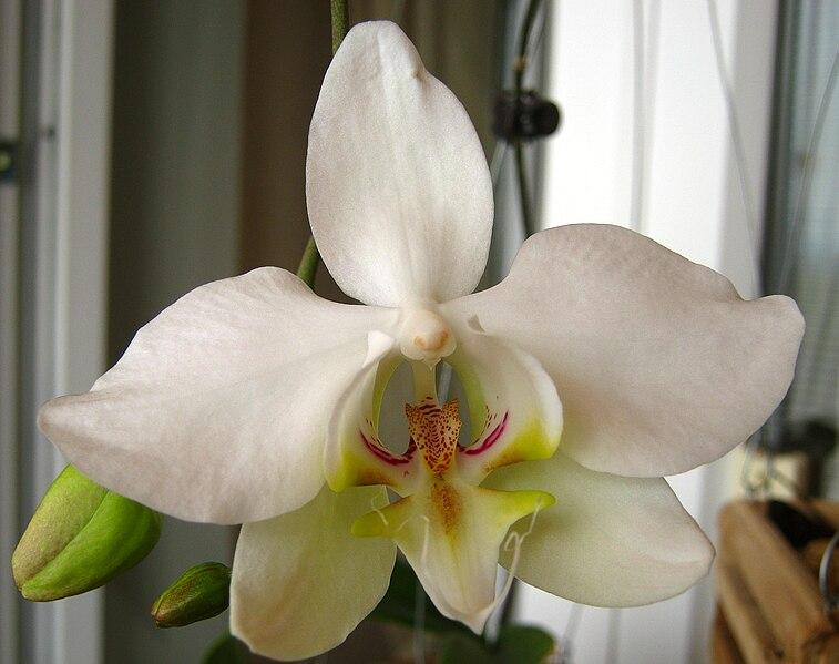 File:Phalaenopsis sanderiana subvar alba.jpg - Wikimedia Commons