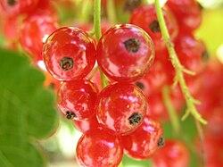 Ribes rubrum2005-07-17.JPG